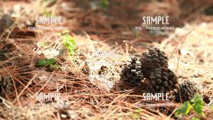 【末吉公園】秋の松ぼっくり 写真素材
