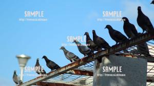 【鳩】鳩の集会ハトポッポ 写真素材