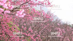 【名護城公園】名護桜祭り 写真素材