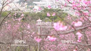 【名護桜まつり】高台からの景色 写真素材