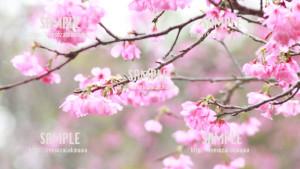 【名護城公園】沖縄の桜 写真素材