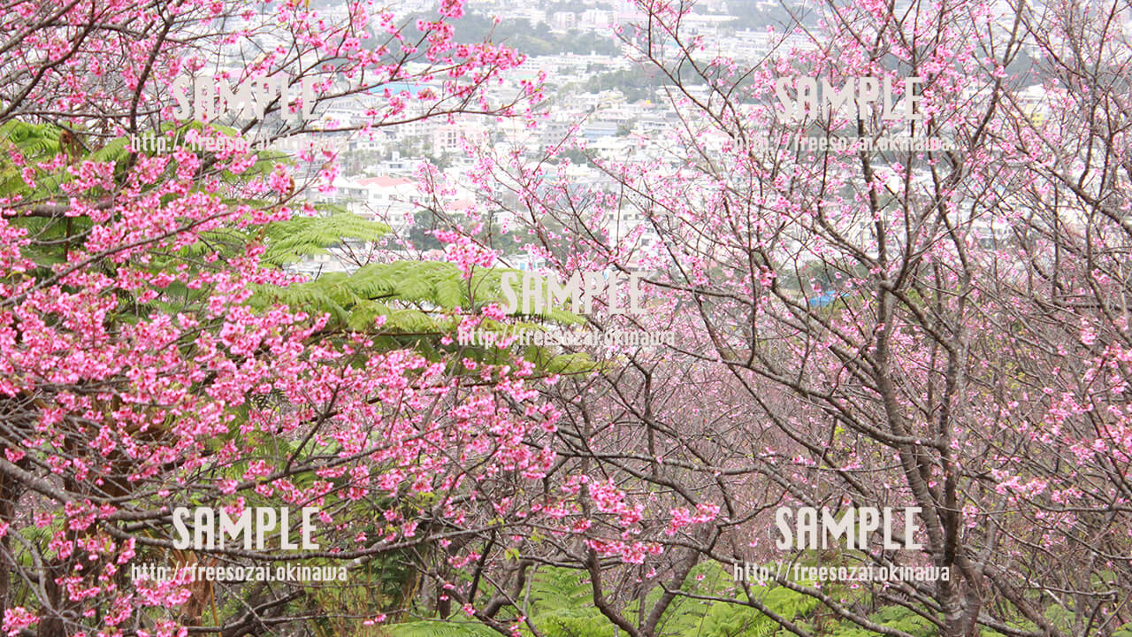 【名護桜まつり】満開の桜 写真素材