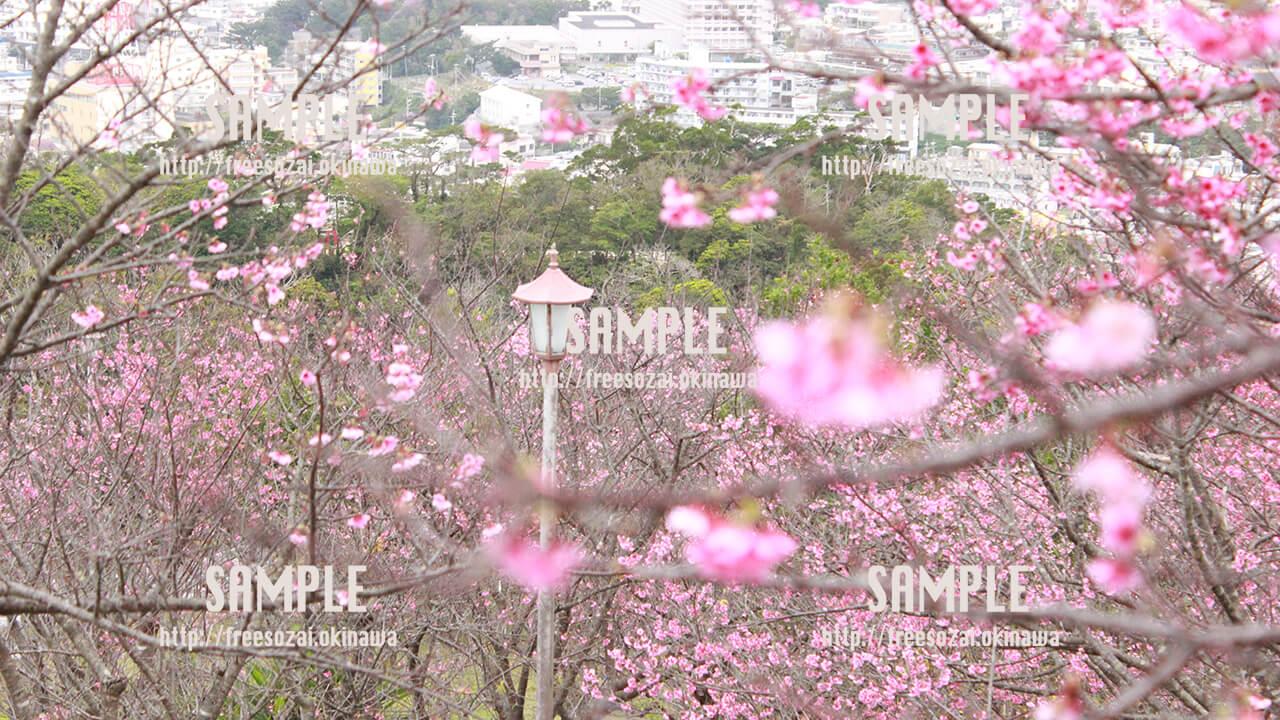 【名護桜まつり】ピンクに染まるヒカンザクラ 写真素材