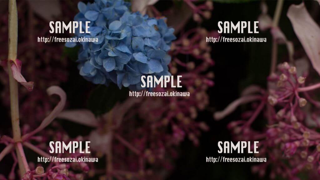 綺麗な紫陽花 写真素材
