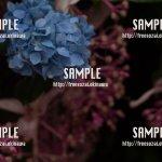 紫陽花 写真素材