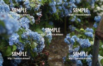 青の紫陽花 写真素材