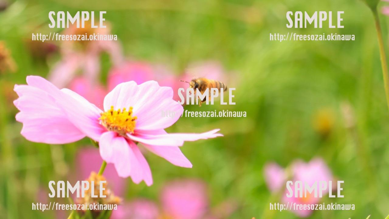 【沖縄】ミツバチの蜜運び 写真素材