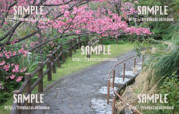 名護桜まつりの桜と階段