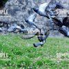 【鳩ぽっぽ】羽ばたくはとぽっぽ 写真素材